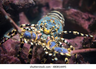 Painted rock lobster  in the coral reef