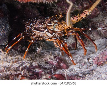 Painted spiny lobster, close up , underwater photography of similan island, thailand