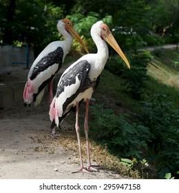 painted stork bird or mycteria leucocephala in the zoo