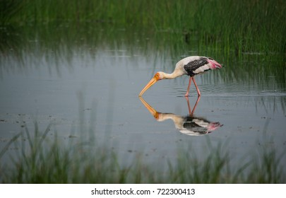 Painted stork bird in a shallow water stream