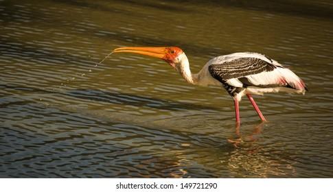 painted stork drinking water in Sri Lanka