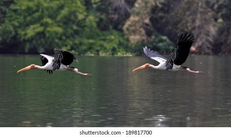 Painted Stork Flight