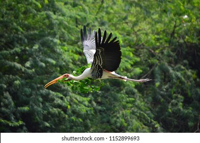 The painted stork (Mycteria leucocephala) is a large wader in the stork family. It is found in the wetlands of the plains of tropical Asia south of the Himalayas in the Indian Subcontinent and extend