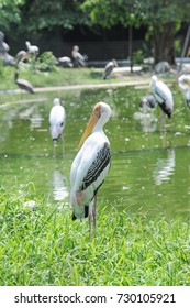 Painted Stork in Nature.