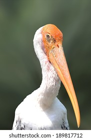 Painted Stork Portrait
