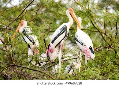 Painted storks at Delhi Zoo