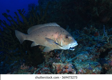 Painted sweetlips fish (Diagramma pictum) and cleaner fish in the tropical reef of the indian ocean