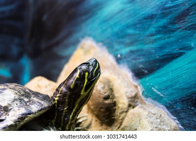 Painted Turtle in an Aquarium