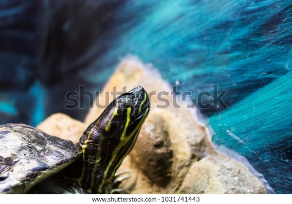 Painted Turtle in an Aquarium