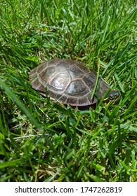 A painted turtle basks in the sun surrounded by green grass near a dam in Neshkoro, WIsconsin.