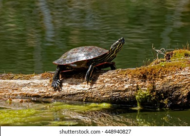 A Painted Turtle suns itself on a log. These small turtles can be found sunning themselves when the weather gets warmer.