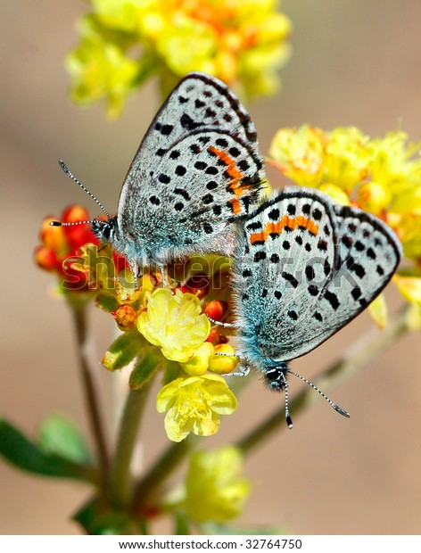 A pair of Acmon Blue butterflies (Icaricia acmon) resting on bright yellow buckwheat flower heads in a mirror image position.