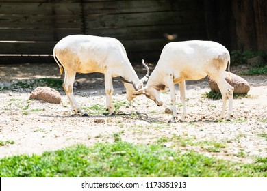 A pair of Addax clashing with their horns in their habitat.