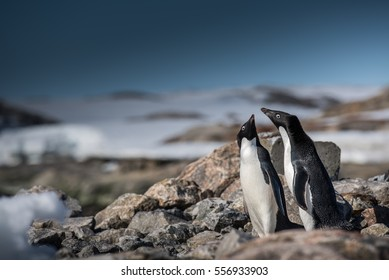 A Pair of Adelie Penguins Enjoying Antarctic Sunshine