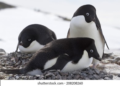 pair of Adelie penguins in on the nest next to another nest