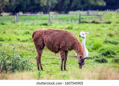 Pair of adorable llamas - white and brown - after a haircut pasting on green grass. Animal breeding farm for wool and meat. The concept of exotic, ecological and photo tourism