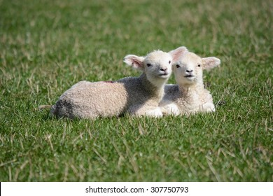 Pair of adorable spring lambs with smiles on their faces laying down in a grassy field