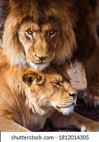 Pair of adult Lions. Predator´s love.