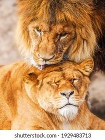 Pair of adult Lions. Predator´s love.