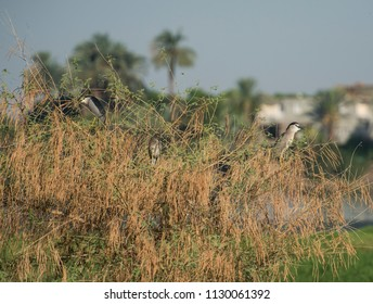 Pair of adult night herons and a juvenile nycticorax nycticorax wild birds stood in tree top