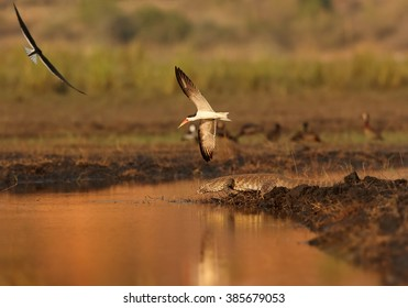 Pair of african bird with bright, long, orange beak, African Skimmers, Rynchops flavirostris protecting their nest from Nile monitor, Varanus niloticus on Chobe riverbank in late afternoon light.