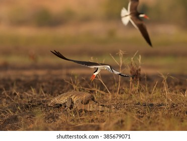 Pair of african bird with bright, long, orange beak, African Skimmers, Rynchops flavirostris driving out  a Nile monitor, Varanus niloticus, from their nest on Chobe riverbank in late afternoon light.
