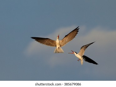 Pair of  african birds with a bright, long, orange beak, African Skimmers, Rynchops flavirostris showing their mating flight.