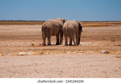 A pair of African Elephants examine a dried up waterhole in Etosha National Park, Namibia.