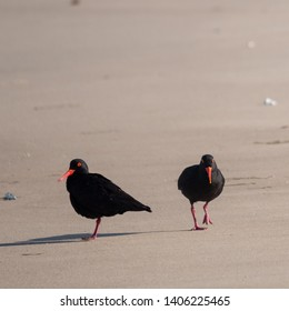 Pair of African oystercatchers with bright red beak and legs, on the beach near Boggams Bay / Mossel Bay, on the Oystercatcher Trail.