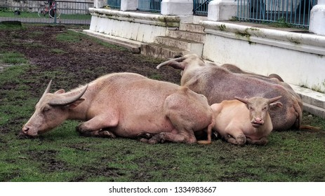 Pair of albino carabao with their calf.