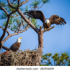 Pair of American bald eagles with nest