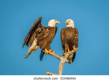 Pair of American bald eagles, one starting to fly