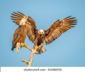Pair of American Bald Eagles with wings spread