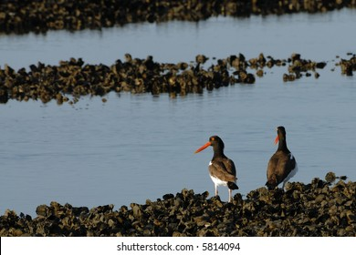 Pair of American Oystercatchers
