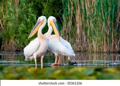 Pair of American White Pelicans