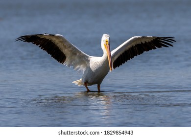 Pair of American White Pelicans on Texas lake during an autumn stopover in their migration