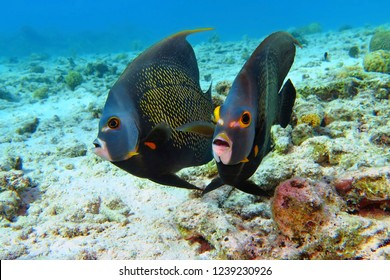 Pair of angelfish swimming in the shallow sea with sandy seabed. Scuba diving with tropical fish. Underwater photography with angelfish (Pomacanthus paru) in the ocean.
