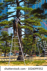A pair of arborists, tree surgeons, at work in Tokyo Japan. A tall bonsai Japanese Black Pine, Pinus thunbergii, in a downtown Tokyo park is being taken care of by a couple of specialists on ladders.