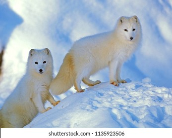Pair of Arctic Foxes standing together on snowhill, alert