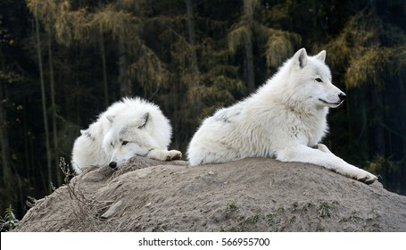 A pair of the Arctic wolfs (Canis lupus arctos), also known as the Melville Island wolfs, at rest.