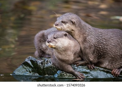 Pair of asian small clawed otters sitting closely together on waterside rock