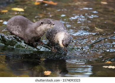 Pair of asian small-clawed otters, Aonyx cinereus, sitting on wet rock at riverside. One otter is shaking to dry, spraying around water droplets
