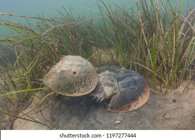 A pair of Atlantic horseshoe crabs, Limulus polyphemus, mate on the shallow seafloor of a bay on Cape Cod, Massachusetts. This widespread species is more closely related to spiders than to crabs.