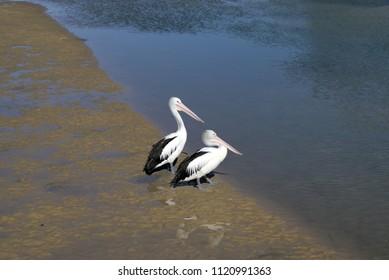 Pair of Australian Pelicans near water. Two Australian Pelican birds on river bank in Australia. Scientific name Pelecanus conspicillatus.