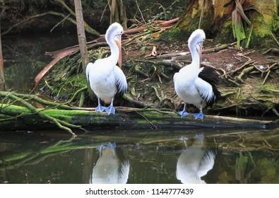A pair of Australian pelicans (Pelecanus conspicillatus) in Victoria, Australia.