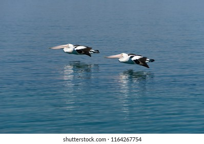 A pair of Australian Pelicans(Pelecanus conspicillatus), flying in sync, very close to the water, above the Clarence River, near Goodwood Island, NSW, Australia.