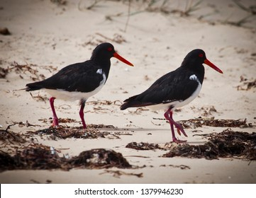 Pair of Australian Pied Oystercatchers, Haematopus longirostris, Two black and white birds with red bills walk alang sandy beach.