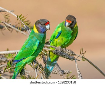 A pair of Australian Ringnecks of the western race, known as Twenty-eight Parrots, photographed in a forest of South Western Australia.