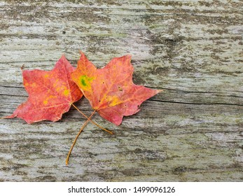 pair of autumn maple leaves on rustic wood surface