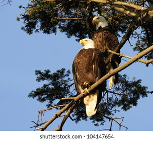 A pair of bald eagle